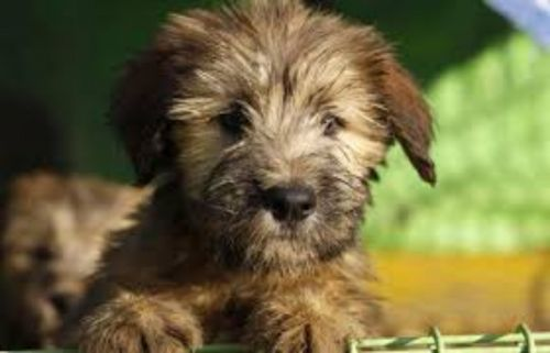 sapsali puppy