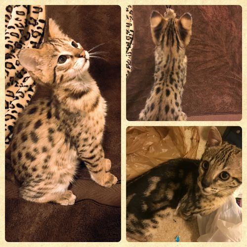 Savannah Cats for sale in Pensacola, FL, USA. price -USD