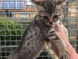 Savannah Cats for sale in FL-436, Casselberry, FL, USA. price 300USD