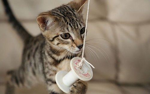 Savannah Cats for sale in Atlanta, GA, USA. price 400USD