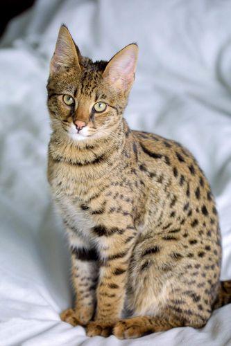 savannah kitten
