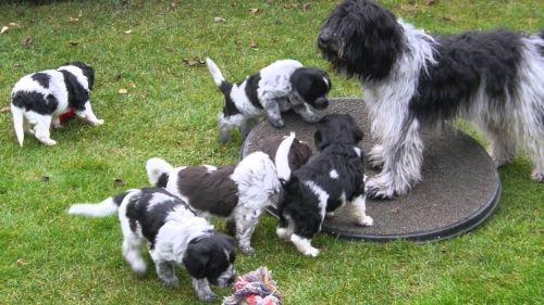 schapendoes puppies