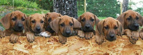 schillerstovare puppies