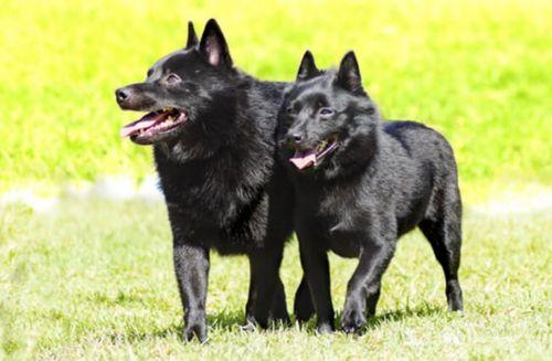 schipperke dogs
