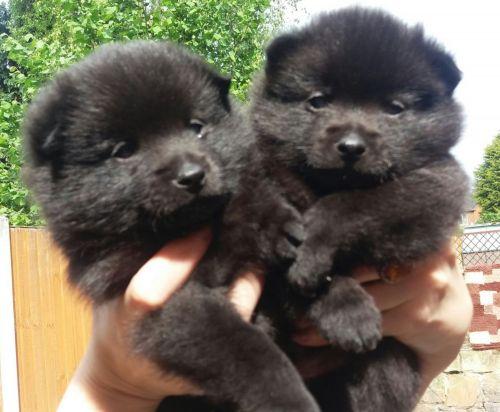 schipperke puppies