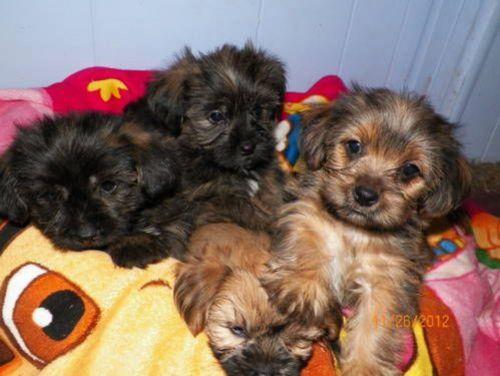 schnorkie puppies