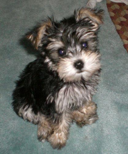 schnorkie puppy
