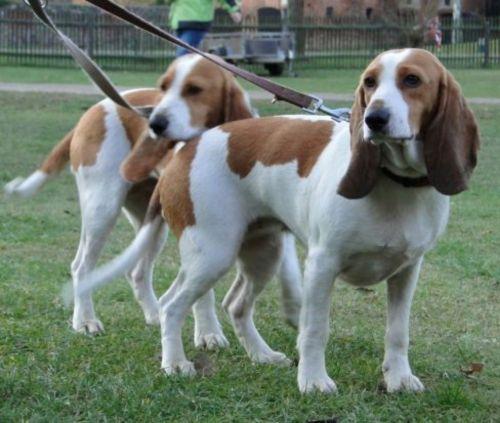 schweizer niederlaufhund dogs