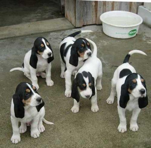 schweizer niederlaufhund puppies