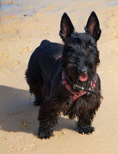 scoland terrier dog