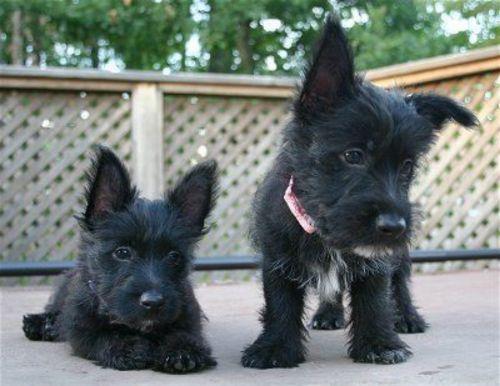 scoland terrier puppies