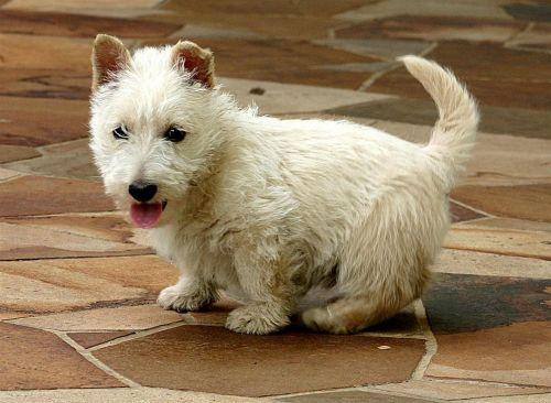 scoland terrier puppy