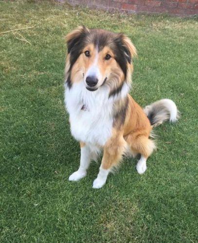 scotch collie dog