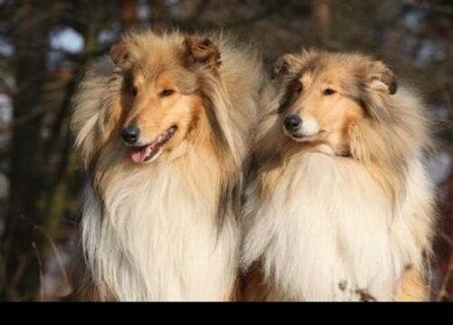 scotch collie dogs