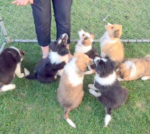 scotch collie puppies