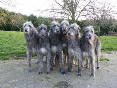 scottish deerhound dogs