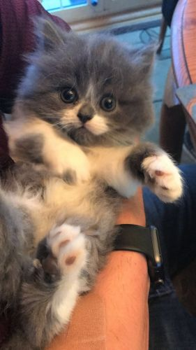 Scottish Fold Cats for sale in Pensacola Beach, FL, USA. price 700USD