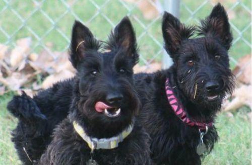 scottish terrier dogs