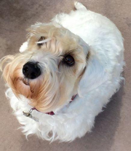 sealyham terrier dog