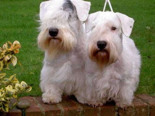 sealyham terrier dogs
