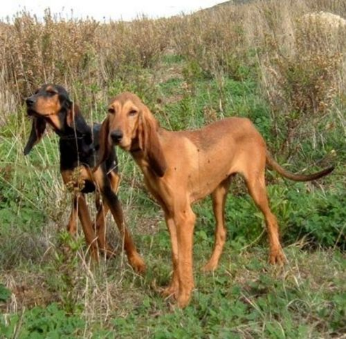 segugio italiano dogs