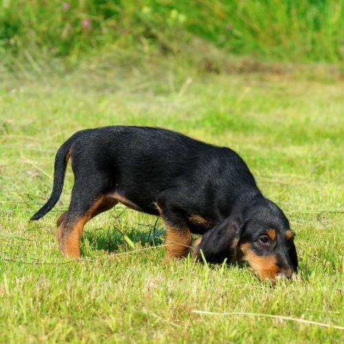 segugio italiano puppy