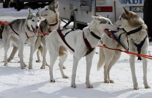 seppala siberian sleddog dogs