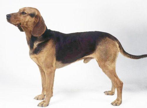 serbian hound