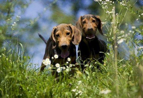 serbian hound puppies