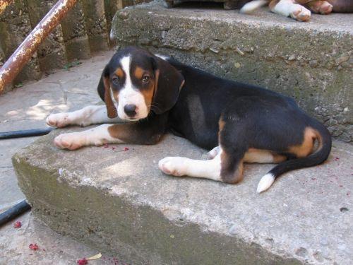 serbian hound puppy