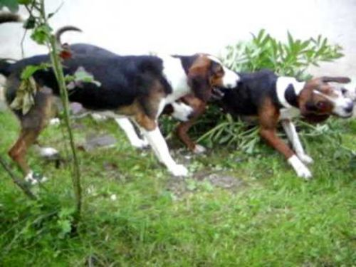 serbian tricolour hound dogs