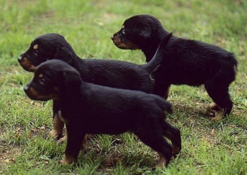 serbian tricolour hound puppies