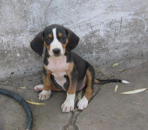 serbian tricolour hound puppy