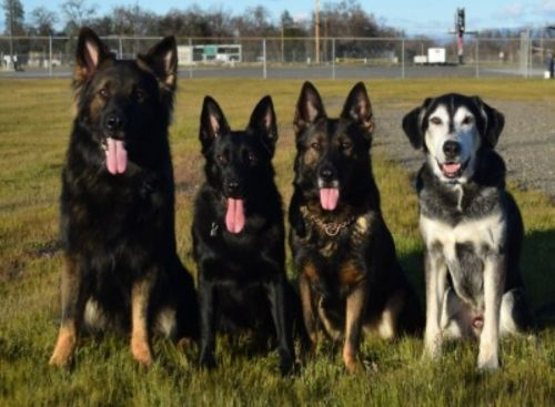 shepard labrador dogs