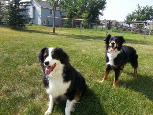shepherd husky dogs