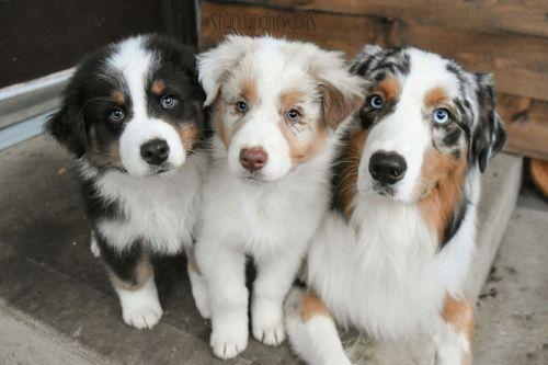 shepherd husky puppies