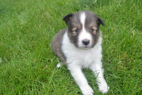 Shetland Sheepdog Puppies for sale in Plain City, OH 43064, USA. price 800USD