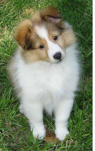 shetland sheepdog puppy