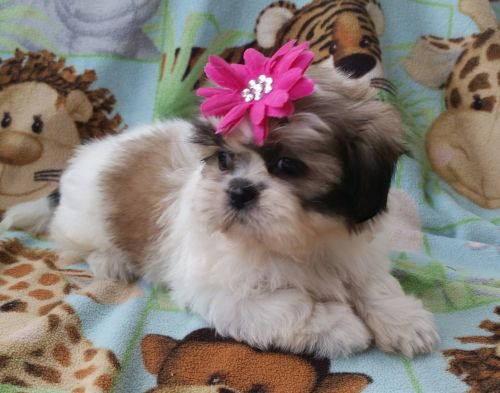 Shih Tzu Puppies for sale in Lakeland, FL, USA. price 1000USD