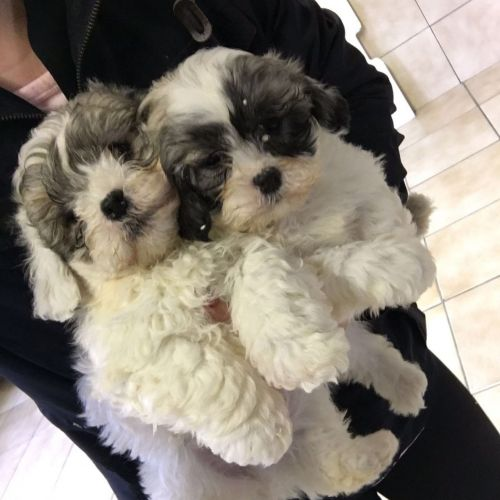 Shih Tzu Puppies for sale in Beverly Hills, CA, USA. price 500USD