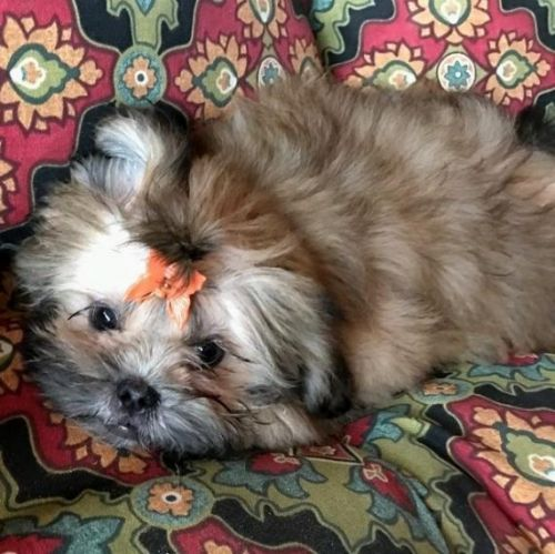 shih tzu for sale chicago shih tzu puppies for sale chicago il 192483 petzlover 3760