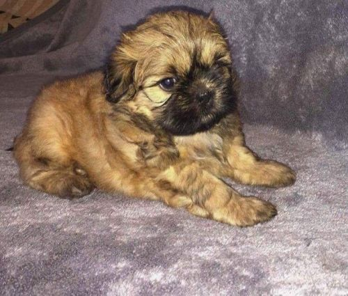shih tzu puppies for sale in ma shih tzu puppies for sale boston ma 197650 petzlover 6068