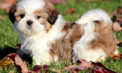 shih tzu for sale chicago shih tzu puppies for sale chicago il 197066 petzlover 2143