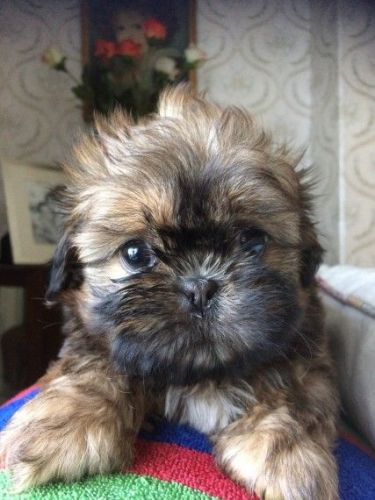 shih tzu puppies for sale in michigan shih tzu puppies for sale lansing mi 199105 petzlover 3400