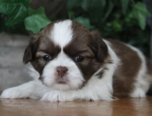 shih tzu puppies for sale in ma shih tzu puppies for sale boston ma 199050 petzlover 2621