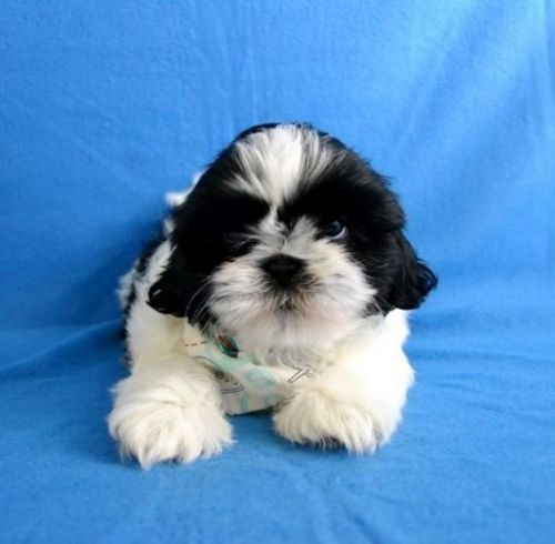 shih tzu puppies for sale indianapolis shih tzu puppies for sale bloomington in 197522 5459
