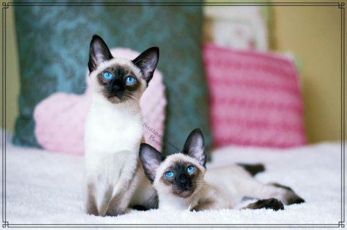 Siamese Cats for sale in Nashville, TN, USA. price -USD
