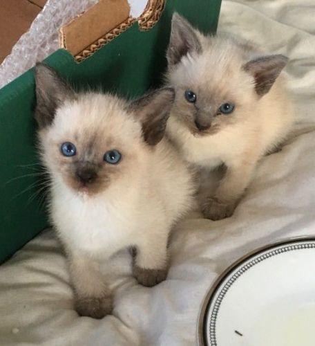 Siamese Cats for sale in Springfield, IL, USA. price 400USD