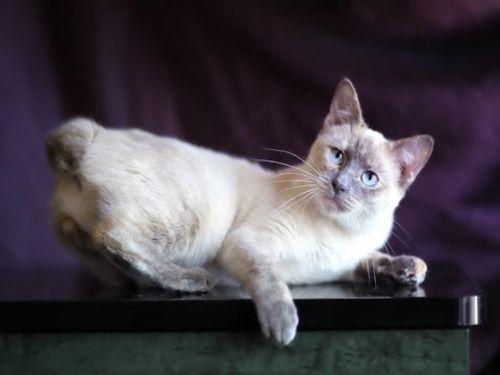 siamese tabby cat