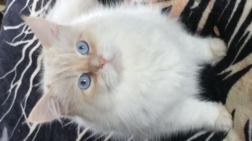 Siberian Cats for sale in South Point, OH, USA. price 1300USD
